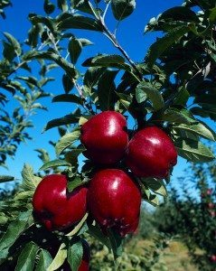 Living in Apple Valley, Minnesota Apple Trees